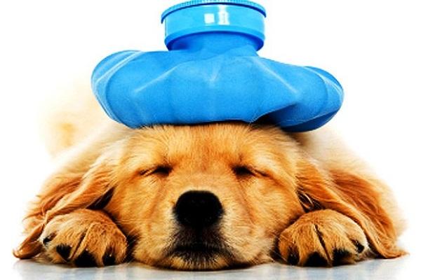 Image result for chó bị ốm