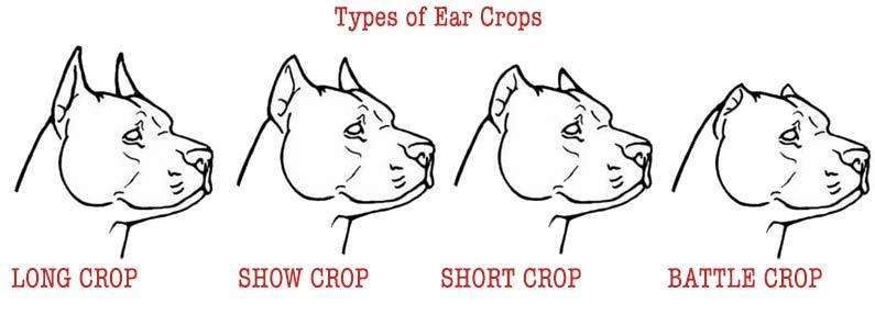 cá kiểu cắt tai, các kiểu xén tai chó pitbull